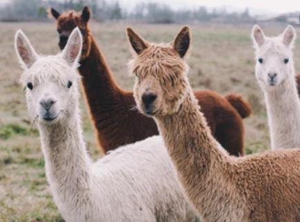 alpaca for fibers